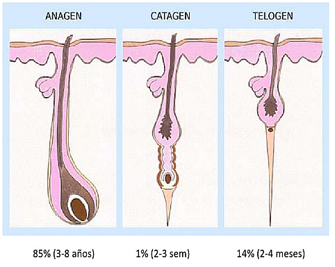 ciclos de crecimiento del pelo